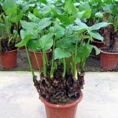 千手观音盆栽绿植大海芋霸王芋水培绿植滴水观音花卉室内植物盆栽